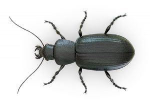 ground-beetle-top